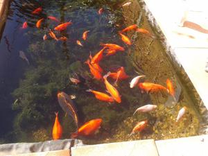 40 pond gold fishes for sale
