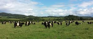 Belted Galloway steers for sale