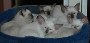 Beautiful Siamese Kittens available SEAL/CHOCOLATE/BlLUE/LIL