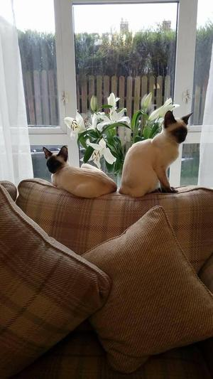 Pair of Siamese cats