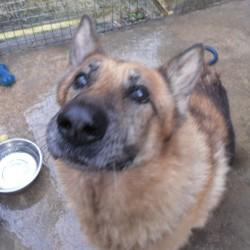 POOR OLD YOGI THE GSD NEEDS A RETIREMENT HOME ASAP