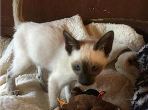 Male Siamese choc point kitten in Southampton