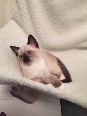 Sale Beautiful Ragdoll X Siamese Kitten