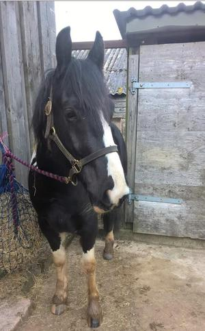 14.2hh project Cob x American paint 6yr old