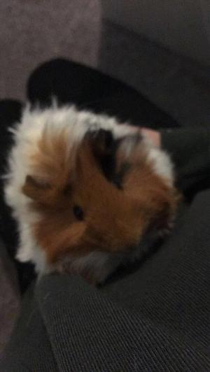 Male guinea pig born 30th july