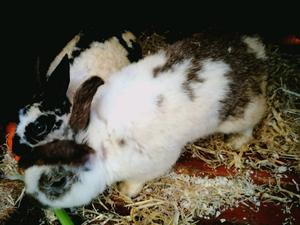 2 male rabbits - collection only