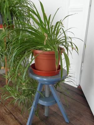 Big house plant - Spider Plant