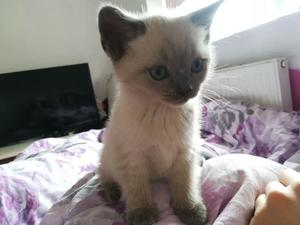 Female lilac point siamese kitten