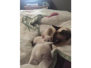 Pedigree Siamese kittens for sale in Bodmin