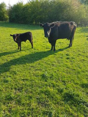 angus cow with limousin bull calve