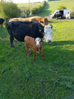 hereford x cow with a limousin bull calve