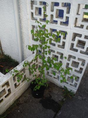 Birch tree in pot, approximately 1.10m. tall