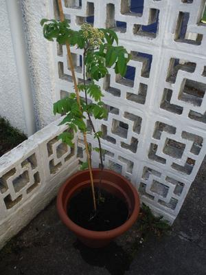 Rowan tree in pot, approximately 1m. tall
