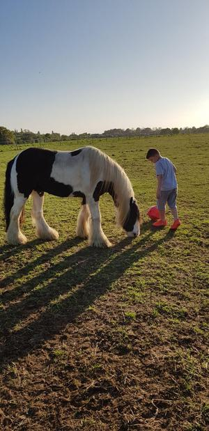 13.3 cob gelding sad sale