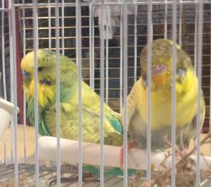 Stunning pair of budgies lovely colours