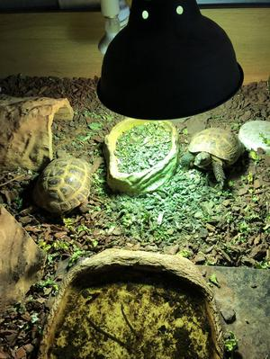 2 horsefield tortoise for sale