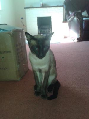 lovely 1 year old male siamese cat
