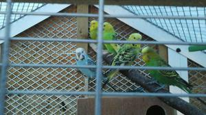 Budgies / and budgies cages