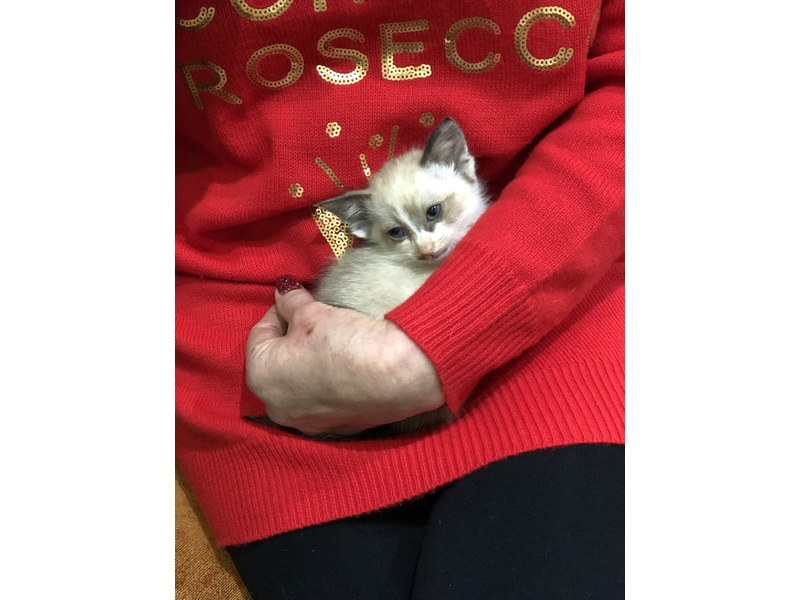 Snowshoe Siamese kittens both parents full pedigree £495