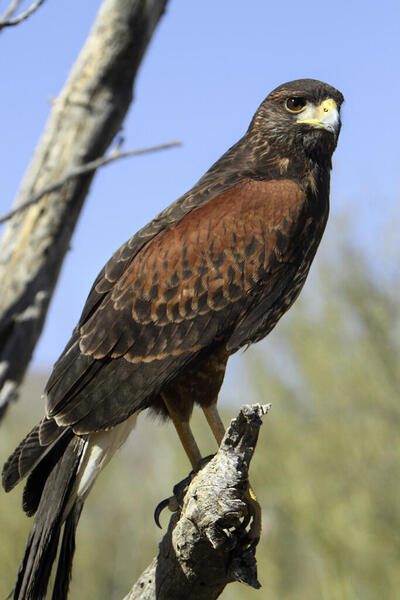 Male Harris hawk wanted. For first time falconer with