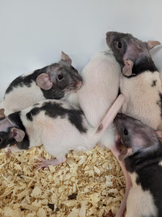 Double Rex rats (patchwork hairless)