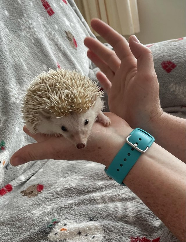 African Pygmy Hedeghog baby for sale