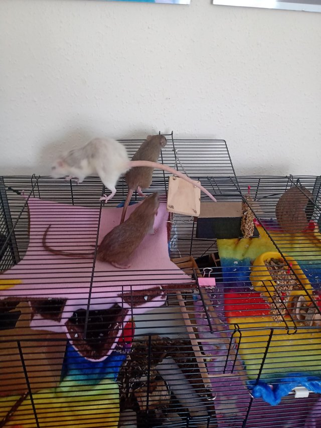 Family of Dumbo rats with cage, food and accessories