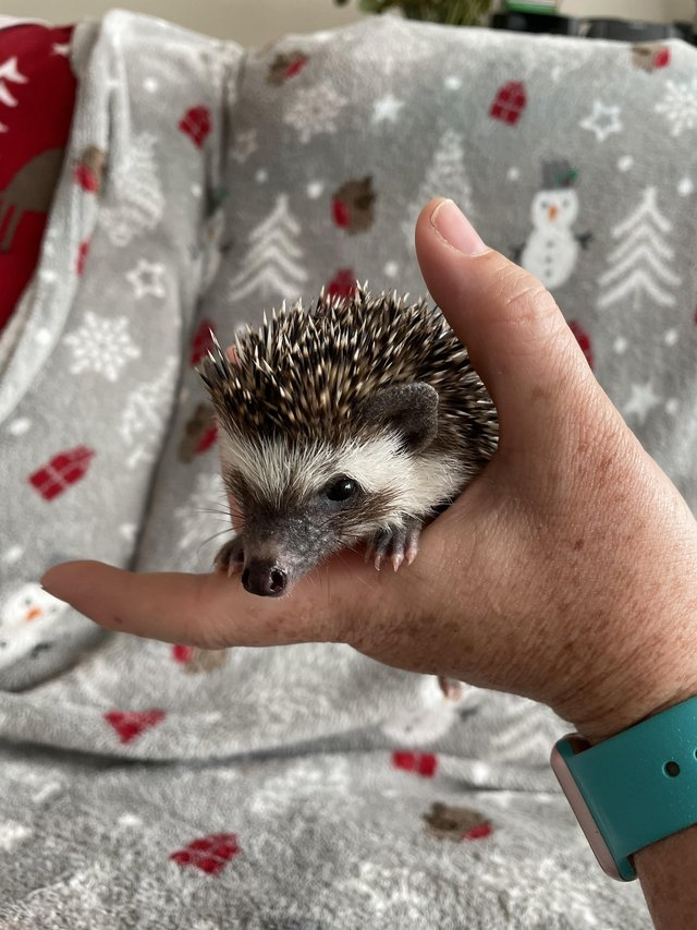 Female African Pygmy hedgehog baby for sale