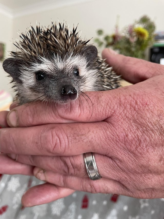 Male African Pygmy Hedgehog baby for sale
