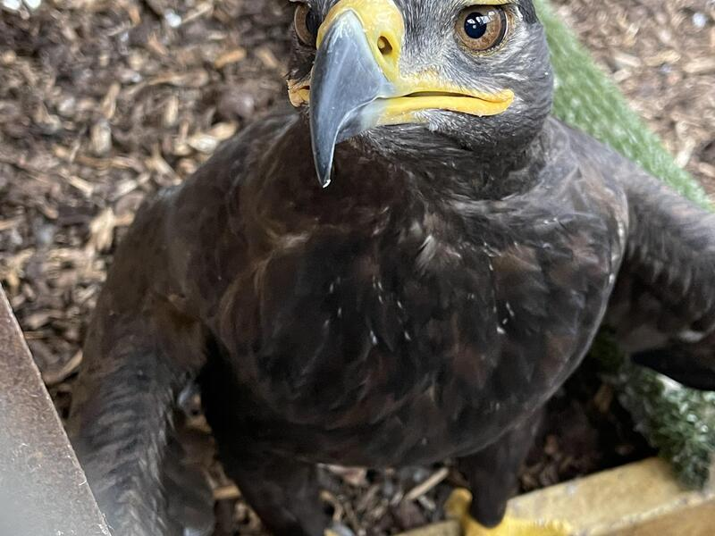 Steppe Eagles pair for sale